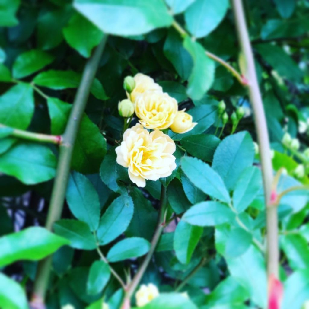 犬旅ベースのお庭に咲いたモッコウバラ
