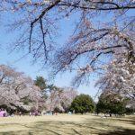 稲荷山公園 桜 満開