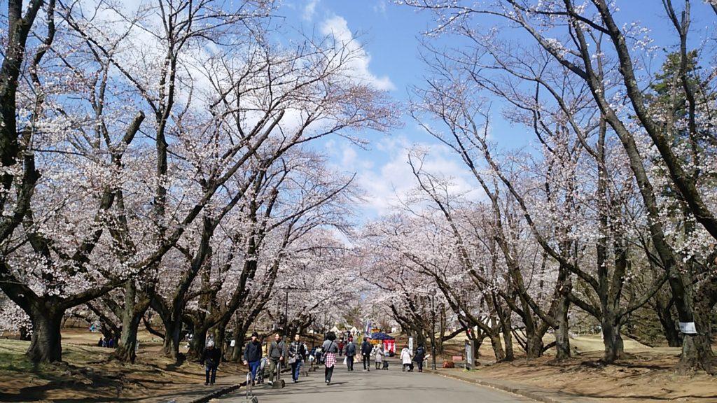 稲荷山公園 桜